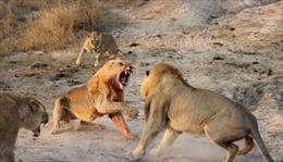 Sư tử chiến