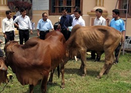 Tặng 5.000 bò giống cho hộ nghèo 5 tỉnh Tây Nguyên