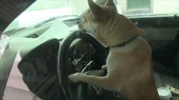 Chó... lái xe gây tai nạn