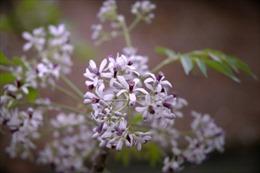 Hoa xoan tím trời thương nhớ