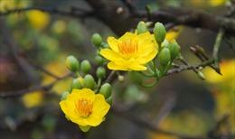 Hoa mai nở muộn