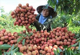 Chuẩn bị các điều kiện cần thiết để xuất khẩu vải quả tươi sang Nhật Bản