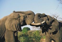 Phát hiện 'biệt tài' khứu giác của voi