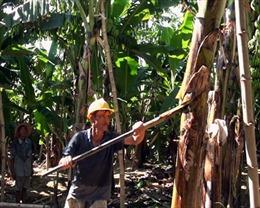 Cần đầu ra bền vững cho chuối Lai Châu