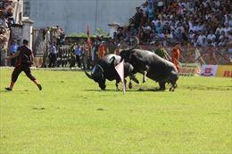 Tạm dừng tổ chức Lễ hội chọi trâu truyền thống Đồ Sơn 2020