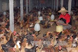 Oman bỏ lệnh cấm nhập khẩu gia cầm Việt Nam