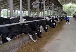 Lâm Đồng có vùng chăn nuôi bò sữa ứng dụng công nghệ cao đầu tiên