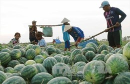 Chung tay giúp nông dân miền Trung bị ép giá dưa hấu