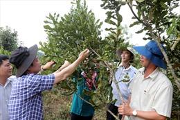 Người dân trồng cây mắc ca được đóng bảo hiểm 'rủi ro'