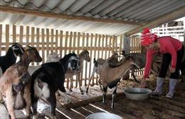 Nghề nuôi dê ở Kim Phượng