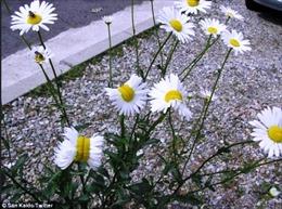 Hoa cúc mọc gần Fukushima bị biến dạng