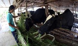 Sóc Trăng tìm hướng  thoát nghèo từ bò sữa