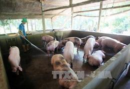 Nhiều trang trại sử dụng chất cấm trong chăn nuôi heo