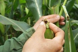 Giúp đồng bào vươn lên xóa nghèo từ cây ngô