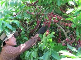 """Người dân kém """"mặn mà"""" với gói hỗ trợ tái canh cà  phê"""