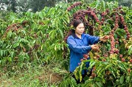 Tăng cường bảo vệ vườn cà phê đến kỳ thu hoạch