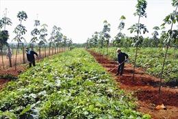 Quan tâm hỗ trợ người trồng cao su