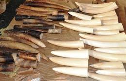 Hải quan Pháp bắt hai người Việt buôn lậu ngà voi