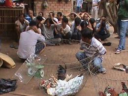 """51 con bạc """"đấu đá"""" trong trường gà ở Tiền Giang"""