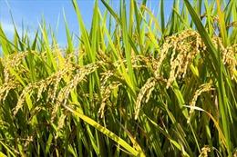 Các nhà sản xuất gạo Thái Lan nhất trí giảm sản lượng