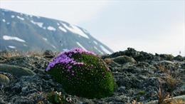 Chuyện loài hoa sống 300 năm ở Bắc cực