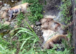 Kinh hoàng lợn chết vứt bừa bãi tại Cao Bằng