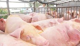 Nhiều rủi ro khi xuất khẩu lợn sang Trung Quốc
