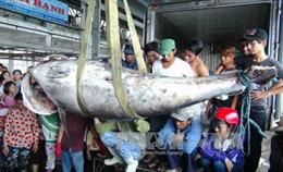 Bắt được cá ngừ vây xanh nặng 307 kg