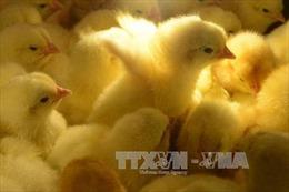 Bill Gates tặng 100.000 con gà cho các nước nghèo