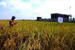Sản xuất lúa giảm phát thải