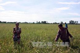 Chuột cắn nát hơn 500 ha lúa ở Kiên Giang