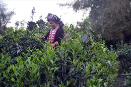 Sản xuất hữu cơ - hướng đi  bền vững cho cây chè Hà Giang