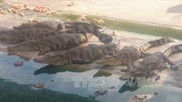 Cá sấu rớt giá, người nuôi lỗ nặng