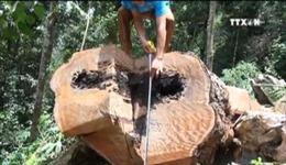 Sau phản ánh của TTXVN, Điện Biên xử lý vụ phá rừng nghiến