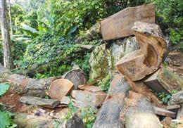 Tỉnh Điện Biên chỉ đạo làm rõ vụ khai thác gỗ nghiến trái phép