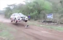Chú chó gặp may thần kỳ hay tay đua ô tô quá chuyên nghiệp?