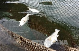 Cá lồng chết hàng loạt tại Nghi Sơn