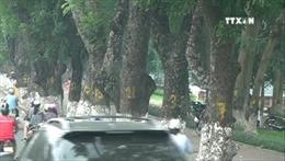 Người Hà Nội tiếc nuối hàng cây cổ thụ ven hồ Thủ Lệ