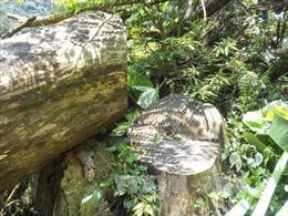 """Khởi tố vụ """"xẻ"""" rừng nghiến cổ thụ tại Điện Biên"""