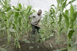"""Từ """"vàng đen"""", Nigeria về với đồng ruộng"""