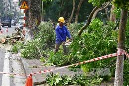 Cố gắng giữ sống 80% số cây xà cừ cổ thụ trên phố Kim Mã