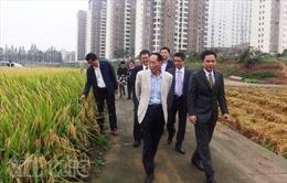 Lúa chịu mặn Trung Quốc cấy thử khả quan ở Kiên Giang