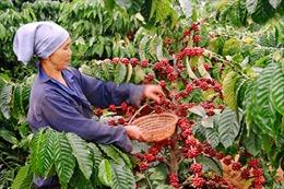 Thu hoạch nhanh, gọn cà phê niên vụ 2016 - 2017