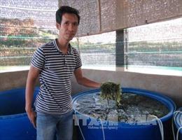 Rong nho - cây làm giàu ở Ninh Thuận
