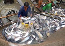 Giá lúa và cá tra đồng bằng sông Cửu Long đang nhích lên