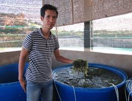 Ninh Thuận trồng rong nho mang lại hiệu quả kinh tế cao