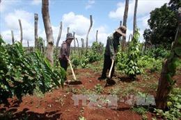 Hiệu quả từ sự liên kết trong sản xuất cánh đồng lớn