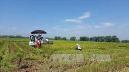 """Trên 42.300 ha lúa ở phía Bắc sản xuất theo """"cánh đồng lớn"""""""