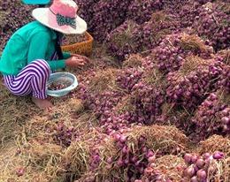 Nhiều hộ dân Tiền Giang mất mùa hành tím Tết