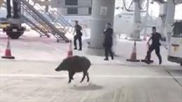 """Lợn lòi """"đại náo"""" sân bay Hong Kong"""